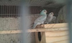 Hi i got for sale or trade a pair of red rumps male is blue niceee color and female is white with black there are proven so if u got something to trade me has to be proven too..thankssss...Parrotlets,fischers,canures let me know...