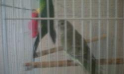 PAIR OF RED RUMP PARAKEETS MALE AND FEMALE WITH CAGE AND SUPPLIES,TRUCK DRIVER DONT HAVE TIME ANYMORE! THANKS 405-428-1276