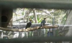 I have a pair of myna birds,rare birds with the ability to talk,all.pellet diet call or text me (786)-587-7813
