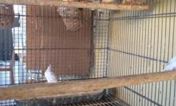 I have a pair of Penguin Zebra Finches for $20.00. Thanks for looking at my ad.