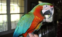 Tamed male and female Harliquen Macaw $900 each Proven pair of Haliquen Macaw with Cataquin Macaw $1500 weaned baby Tamed Triton cockatoo $900 proven pairs of Maximillian Pionus $550 pair Tamed Camalot Macaw $3000 Sergio (786)326-7698 WWW.petmacaw.com