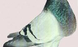 especial de palomas buchonas en exotic birds pet shop todos los colores hembras y machos listos para criar y a los mejores precios. todas a 15.00 dollares cada una