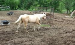 2010 AQHA/FQHA/PBHA palomino colt I'm forced to sell. He is a very nice colt, he is green but needs more work. He is easy to catch, nice to geldings and mares, good for farrier and vet, ties,tacks no problem, easy to mount/dismount. Will flex and walk