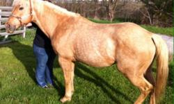 Foaled July 29,1999 registered AQHA & Palomino. Broke to ride. Very nice built stallion. 15.2 hands tall. He would be a good horse for breeding. Call or text 859-481-8053 This ad was posted with the eBay Classifieds mobile app.
