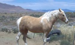 Beautiful Palomino mare, beautiful gaits. Carries and exhibits both tobiano and sabino genes. Dad has versatility background. Mom is Coins Hard Cash on top and Jazzman on bottom. She is 15.1 hands and fairly heavily built. Not broke but looking for a job.