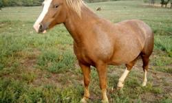 12-year-old 14.2 hh Palomino pinto gelding; wormed, vaccinated, hooves trimmed. Very gentle, loves people and riding and been used for beginner lessons. Excellent trail and road horse--not spooky. Soft mouth with snaffle or goes Western or bareback. Loads