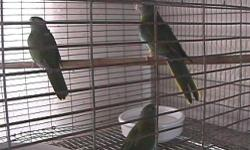 I have a ready to breed Par-blue salmon chest male scarlet chest parakeet possible split to white chest asking $350. He is the 1st one facing the front of the cage. Ask for Pete 714-399-5518
