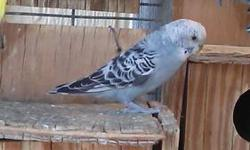 Female parakeet 2 years old not tame $15. No cage included please bring a carrier. Text only between 6am-10pm 602-614-5287