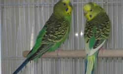 I have a pair of parakeets or budgerigars (budgies) for sale or adoption.