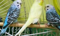 Parakeet (Other) - Elroy - Small - Adult - Male - Bird CHARACTERISTICS: Breed: Parakeet (Other) Size: Small Petfinder ID: 25003812 CONTACT: Dakin Pioneer Valley Humane Society, Leverett location | Leverett, MA | 413-548-9898 For additional information,