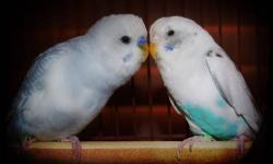 Parakeet (Other) - Harry & Sally - Small - Young - Female - Bird HARRY & SALLY are stunning parakeets, Harry is white with a deep turquoise colored breast, and Sally is lovely with pale shades of blue. They get along beautifully and are sweet-tempered,