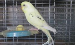 Parakeet (Other) - Parakeet Pair - Small - Young - Bird Pair of adult parakeets complete with cage and supplies. Very pretty pair, pics coming soon. Please call to make an appointment - 508-291-7297. Join us on Facebook @ A helping Paw Humane Society