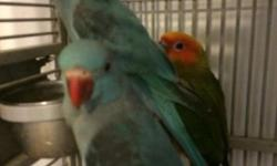 Parakeet (Other) - Parakeets - Small - Adult - Bird Looking for a parakeet? We have them available in our Small Animals Room. CHARACTERISTICS: Breed: Parakeet (Other) Size: Small Petfinder ID: 29037005 CONTACT: Danville Area Humane Society, Inc. |