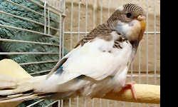 Parakeet (Other) - Paz - Small - Baby - Female - Bird CHARACTERISTICS: Breed: Parakeet (Other) Size: Small Petfinder ID: 24838113 CONTACT: Wisconsin Humane Society | Milwaukee, WI | 414-ANI-MALS For additional information, reply to this ad or see: