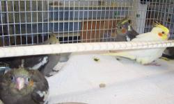 Six available. Cheerful and curious birds. Love to whistle. Package Deal: $35.95 Includes: Bird, cage and 1lb food