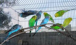 ** If this ad is up the parakeet pairs are still available ** Serious inquires only please ** 5 parakeet pairs.Some pairs are PROVEN.They will begin to nest soon.They would be a great starter flock.Asking $150 for all 5 parakeet pairs.No cages are