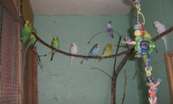 I HAVE MANY YOUNG KEETS FOR SALE AND DIFFERENT COLORS PICS WILL BE ADDED LATER TODAY 8 OF THEM JUST WEENED FROM PARENTS THESE ARE ENGLISH AND AMERICAN MIX PARAKEETS NICE BIRDS AND HEALTHY IF YOU WANT A NEW FRIEND GIVE A CALL COME AND LOOK BE WATCHING FOR