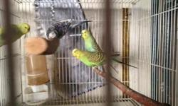 I have 4 parakeets all in breeding condition some are proven breeders blues, greens, albinos, pieds $8 each bird 2 for $15 Call or txt 323 775 4877 Hablo español Bring own cage or carier