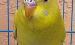 Parakeet, Lutinos and Albinos, 2 months, semi-tame but can be trained. A perfect holiday present, comes with cage. Adoption fee $25 or $40 the couple with cage. If interested, please call or text Maria at 305.776.6901