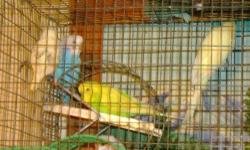 LOCATED IN STAPLES/ MOTLEY AREA (phillbrook) I have 20 keets availabile at this time, (2013) I let the parents raze the young. At this time I have no toys or cages avaible, sorry Will give discount on large pick- up and for $50. will deliver to St. Cloud
