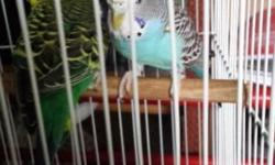 I have really nice budgies, many colors for sale. Call me: Walt at 727-726-6864