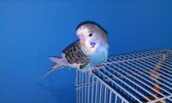 I have really nice baby budgies for sale, many colors, pied, blue, green, grey so come and take a look for your next great pet. Walt at 727-726-6864