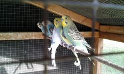 I have baby budgies that will be ready to go to their new homes soon from 35. I also have breeder birds. Call me at 727-726-6864, Walt in Safety Harbor, Fl.
