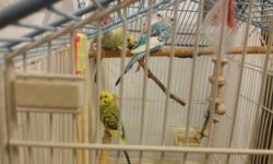 Four Parakeets. About 1 year old. Genders unknown. Must be picked up only. Absolutely no shipping. $10.00 each.