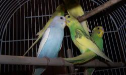 I have many parakeets, male and females. They are very beautiful in color and pretty birds. Give me a call if your interested, 352-457-0354 Michelle I have a few left, ,mostly the green and yellow, or yellow and bird, white with touch of yellow Give me a