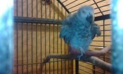 Pareja de African Gray con jaula, nido, comederos, LLAME al 305 720 5323