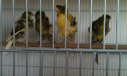 look at the pictures & youll see the quality of the birds. 2 Males, 2 Females & 1 baby. $200 each & not a penny less. Please call 323 646 3453 & ask for VJ This ad was posted with the eBay Classifieds mobile app.