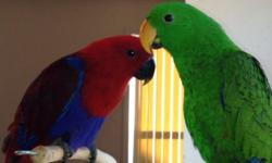 We have to give up our parrots for adoption. They are gorgeous male and female eclectus (aka ekky ekkies) young parrots. They are under a year old. They are part of our family and play with my kids. Due to sudden financial reasons we are forced to part