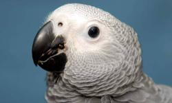 Baby parrots available including African Greys, Cockatoos, and Macaws. Credit Cards accepted and we ship nationwide. Please visit or website for more information (www.melzanosparrotplace.com). Phone number is 619-456-0785