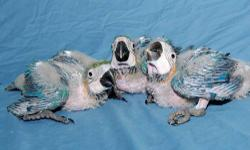 We raise baby parrots in our home for your home and over 80 species available. Please visit our website for additional information. Website is www.melzanosparrotplace.com. The phone number is 800-615-2473 and credit cards accepted.
