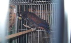 1 year old male parrot , healthy, he is a bronzed-winged ponius, perfect medium sized parrot for an apartment, since he is mostly quiet. Knows a few words, hand tame 619 600 9145 - I am located in burbank, can drive to you to show bird (please leave your