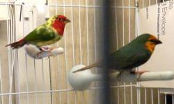 This is a beautiful DNA sexed Parrot finch pr....Male is Red face pied,and the Female is a Seagreen/pied parrot finch.. You will get red face pied and seagreen pied. Also will get normal red face and and normal seagreen babies. Cage,Nestbox and DNA