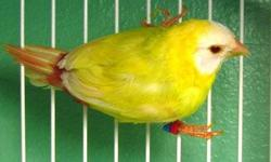 Beautiful parrot finches fully colored ready for breeding call or text 3057106447 no shipping Sea green 90. Blue face 100. Split to lutino 120. Lutino females 230.