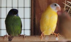 We have lots of parrot finches available .. Red head parrot finches. Blue face parrot finches. Sea green parrot finches. Red head pied parrot finches. Sea green parrot finches.. Lutino parrot finches... Owl finches.. Gouldians green backs,yellow