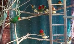 Red head and Sea green parrot finches for sale. Uncolored red heads start at $70 for normals to $125 for birds that will be heavy pied, colored out red heads start at $90 to $145 for heavy pied, sea greens are an additional $20 per bird. Will ship United