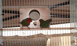 I have great pairs of parrot finches,They are in great condition and ready to breed.If interested please contact me.