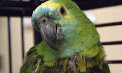 Parrot (Other) - Tasha - Small - Adult - Female - Bird Tasha is a ten year old female Goffin who is very loving and affectionate. She loves to be handled and loves to play. She will amuse herself for hours with a pile of buttons. She is a good eater, is