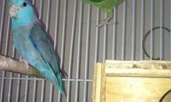 Hi i have one pair of parrotlets over then one year the blue really friendly and the green it's not for rehome with the cage together am asking for $100.thanks call Nicolas at (619)992-20 48. This ad was posted with the eBay Classifieds mobile app.
