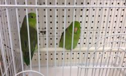 1 Male Yellow Pied Parrotlet for sale, proven breeder. He is 3 years old.