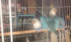 7 weeks blue split fallow handfed tamed male and female available 2 more left 1 male 1 female Fisher lovebirds handfed 2 available Call or text (619)245-7065
