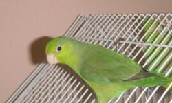 I have 3 pacific parrotlets for sale. They are all split to blue and can yield blue offspring if paired with a blue or another split to blue. One of the males and a female will make great pets. Step up well and enjoy being with people. The other female is