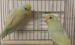 FOR SALE. Young parrotlets for breeding male and female available. Greens - 60 each --- 110 for pair. Blues- 70 each --- 130 for pair.-- Package for Birds only!! Breeding kings cages brand new available and nest boxes. I can make a package including a