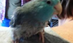 Parrotlet - Gracie - Small - Young - Female - Bird Gracie is an approximately 3 year old female Pacific Parrotlet. She is handlable. Her chest is plucked but we're hoping the feathers will grow back. Her adoption fee is $100. For more information on