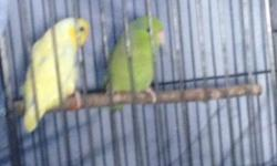 Male and Female blue parrotlet male is 6 months old and female is 4 months Contact for price