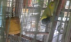 Parrotlet male 1 year and half. Perfect health and condition. Please call