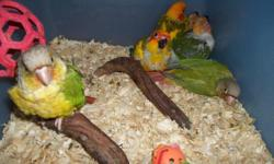 This is a beautiful proven pr .Male (14mo)is Blue/turquoise pied...Female(15mo.) is Green/blue pied/blue..$100. pr